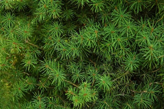 Belles branches d'arbres de mélèze