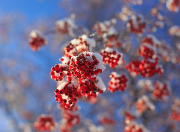 Belles branches de cendre de montagne recouvertes de neige.