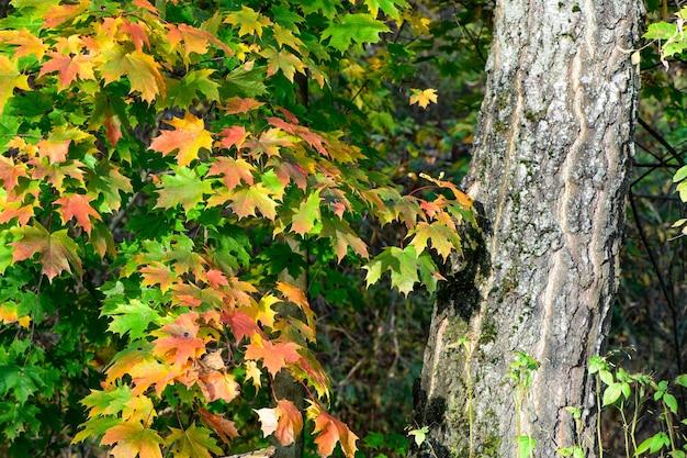 Belles branches colorées de l'érable aux feuilles vertes et jaunes en automne.