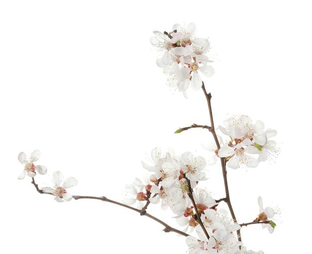 Belles branches fleuries isolées