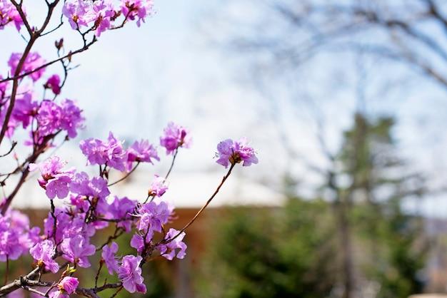 Belles branches de fleurs de romarin sur le fond du ciel.