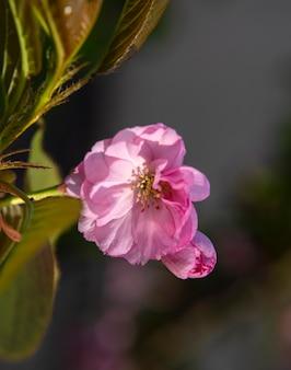 Belles branches de sakura en fleurs sous une lumière ensoleillée. fleurs de sakura rose sur arbre au printemps. belles fleurs de cerisier japonais
