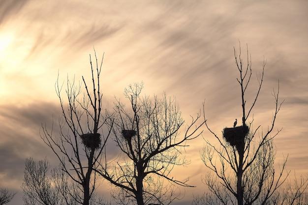 Belles cigognes au coucher du soleil au printemps dans leurs nids au sommet d'un arbre