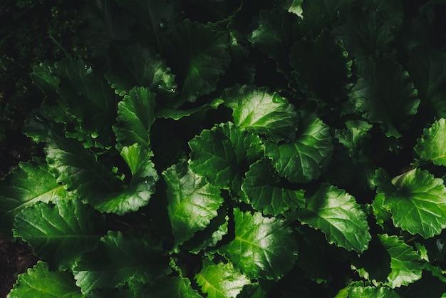 Belles feuilles de marguerite avec des gouttes de rosée close-up.