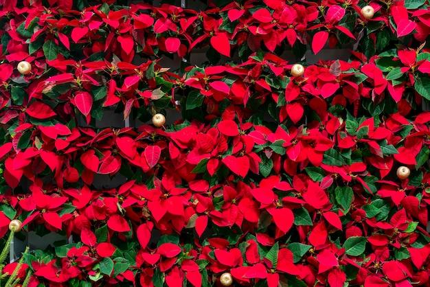 Belles feuilles rouges décoratives de plantes. fond naturel.