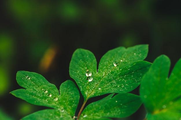 Belles feuilles vert vif de dicentra avec des gouttes de rosée close-up avec copie espace. verdure pure, agréable et agréable avec des gouttes de pluie au soleil. toile de fond de plantes texturées vertes par temps de pluie. herbe.