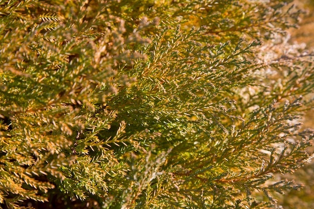 Belles feuilles vertes de noël des arbres thuja avec une douce lumière du soleil. rameau de thuya, thuja occidentalis est un conifère à feuilles persistantes. thuya doré