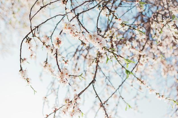Belles fleurs d'amandier dans l'arbre avec un ciel bleu derrière au printemps