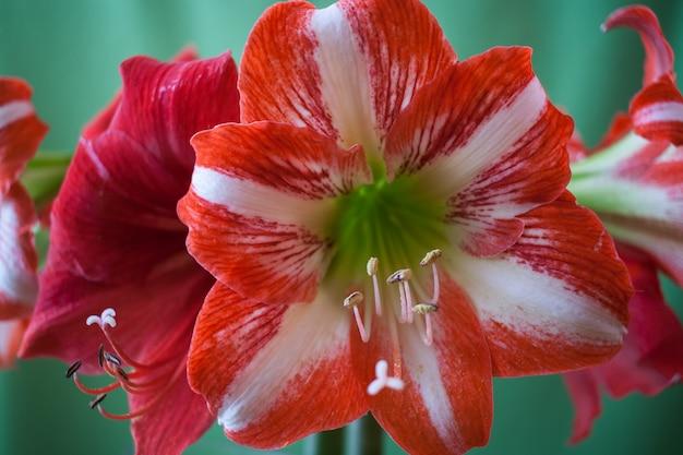 Belles fleurs d'amaryllis rouges et blanches