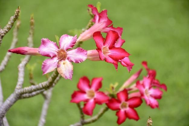 Belles fleurs d'azalée rouge
