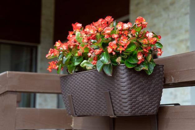 Belles fleurs de bégonia rouge vif dans le pot sur la terrasse de la maison. concept de jardinage et de plantation à la maison