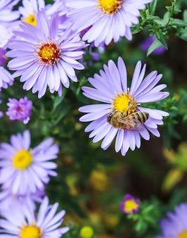 Belles fleurs bleues saphir mistaster dumosus avec une abeille dans le jardin d'automne