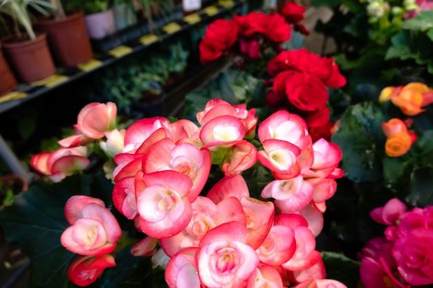 Belles fleurs de camélia avec des fleurs colorées au jardin