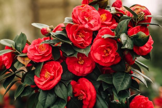 Belles fleurs de camélia rouge en pleine floraison avec effet grunge fané. photo de haute qualité
