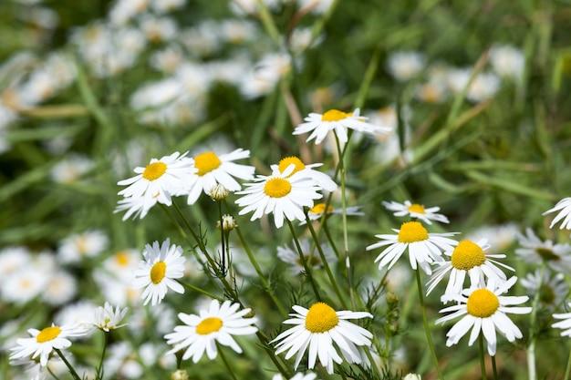 Belles fleurs de camomille blanches utilisées dans les activités médicales