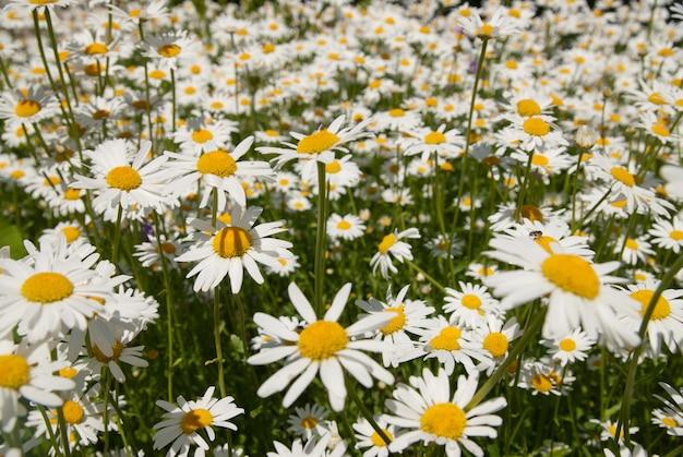 De belles fleurs de camomille dans une fleur comme une prairie sauvage. vue rapprochée dans une journée ensoleillée d'été.