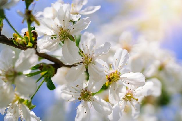 Belles fleurs de cerisier sur ciel bleu