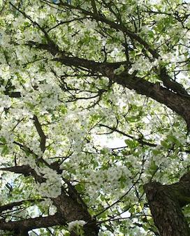 Belles fleurs de cerisier dans le jardin de printemps fleurs de fruits blancs dans le parc