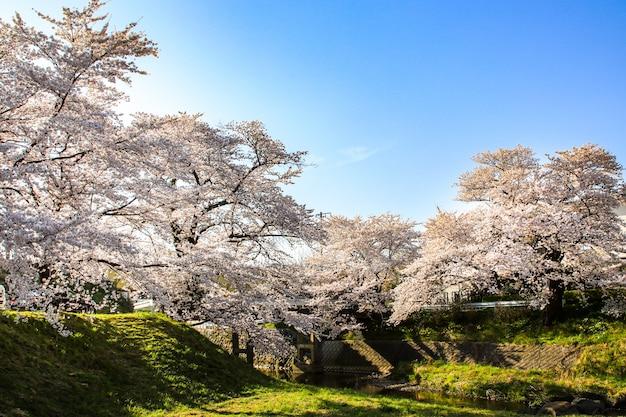 Belles fleurs de cerisier. fleurs de sakura au japon. voyage au printemps.