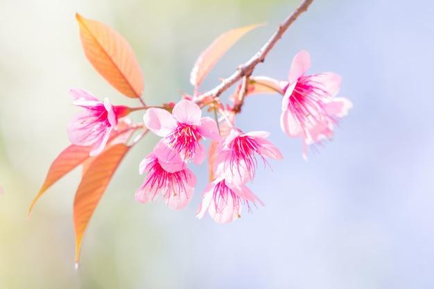 Belles fleurs de cerisier de printemps