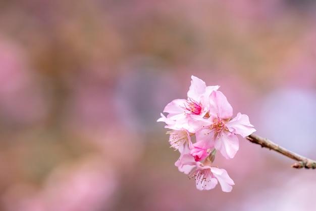 Belles fleurs de cerisier sakura fleurissent au printemps sur le ciel bleu, copiez l'espace, gros plan.
