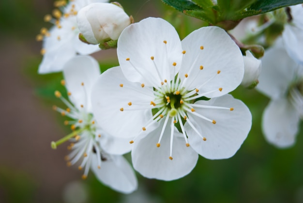 Belles fleurs de cerisier. sakura