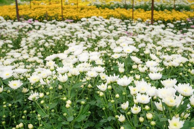 Belles fleurs de chrysanthèmes blancs en fleurs avec des feuilles vertes dans le jardin
