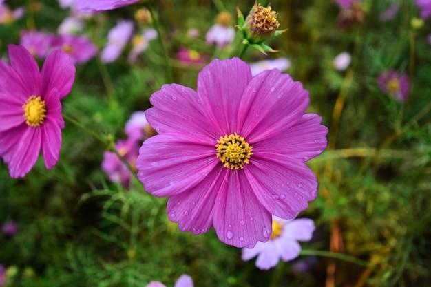 Belles fleurs colorées le matin de l'hiver.