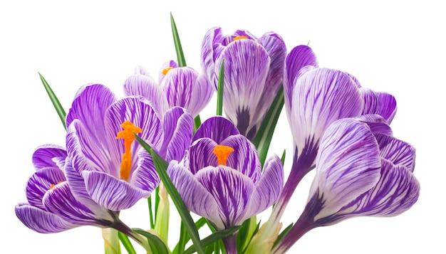 Belles fleurs de crocus