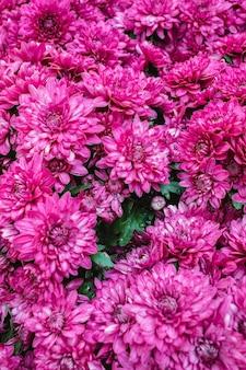 Belles fleurs de dahlia