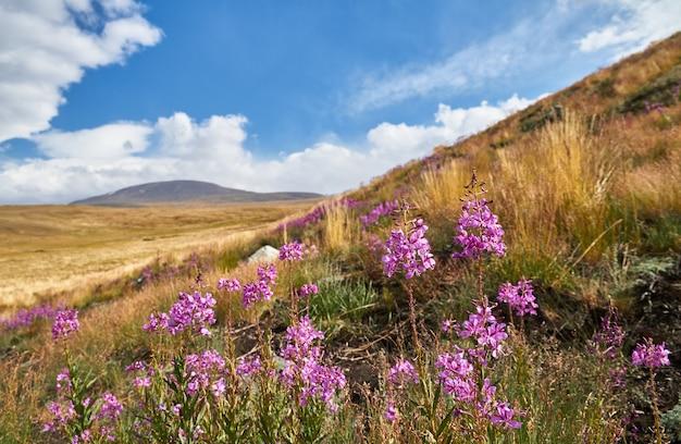 Belles fleurs dans le champ. coucher de soleil dans la steppe
