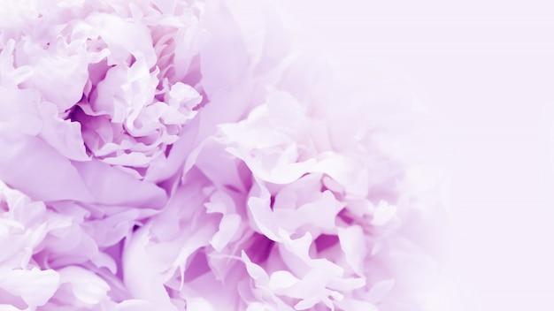 Belles fleurs épanouies fond de pivoines pourpre proton avec espace de copie.