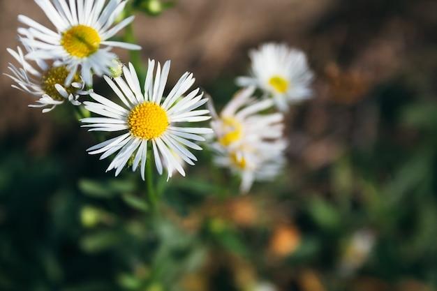 Belles fleurs d'erigeron annuus avec des pétales blancs et un noyau jaune
