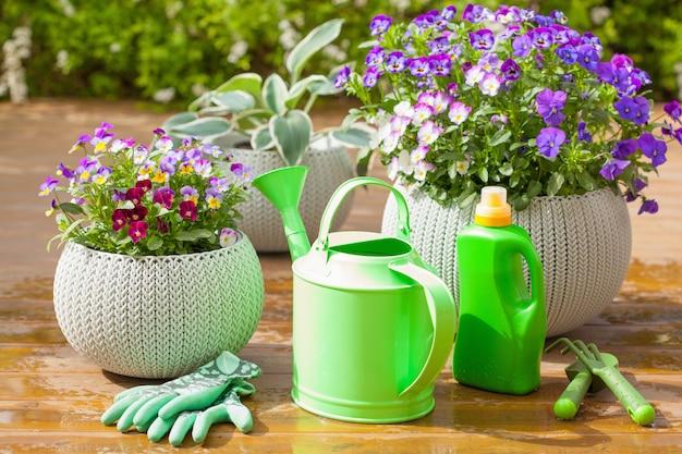Belles fleurs d'été de pensée dans le jardin, arrosoir et outils
