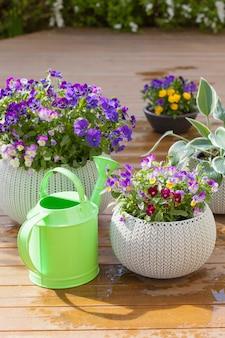 Belles fleurs d'été de pensée dans des pots de fleurs dans le jardin et l'arrosoir
