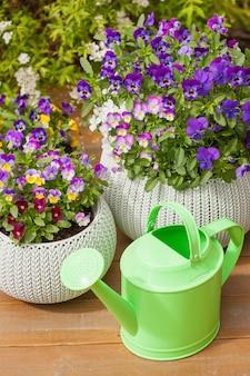 Belles fleurs d'été de pensée dans des pots de fleurs dans le jardin, arrosoir