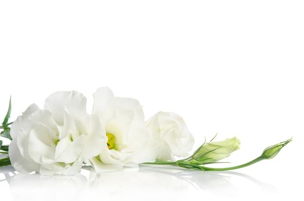Belles fleurs d'eustoma blanc sur une surface blanche