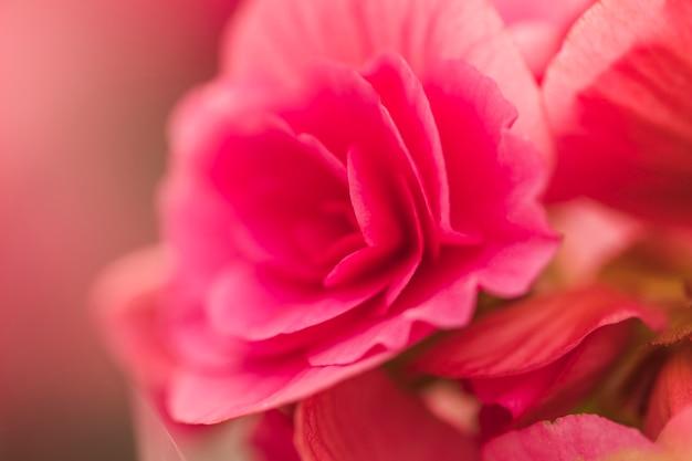 Belles fleurs fraîches roses