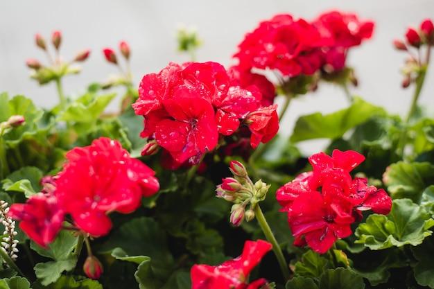 Belles fleurs de géranium hybride rouge à feuilles de lierre pelargonium peltatum sur parterre de fleurs.
