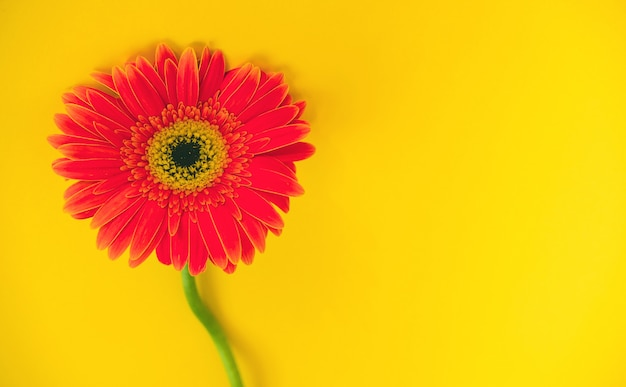 Belles fleurs de gerbera lumineuses