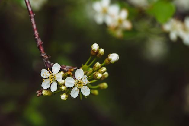 Belles fleurs de gros plan arbre cerasus. romantique de fleurs printanières branche en macro avec fond. petites fleurs blanches avec un pilon jaune et des étamines. plantes en fleurs du printemps.