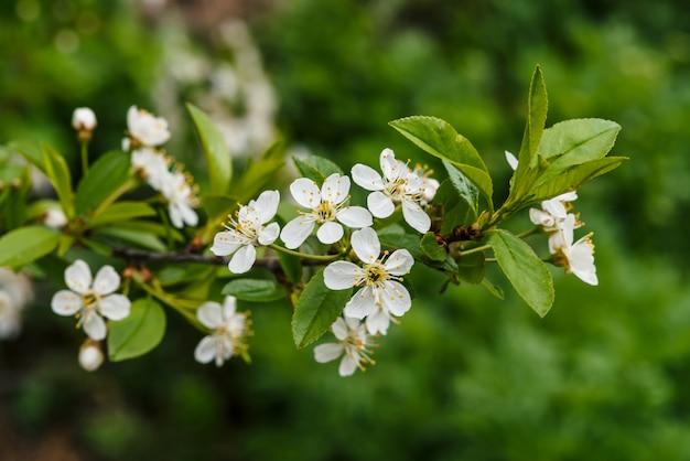 Belles fleurs de gros plan arbre cerasus.