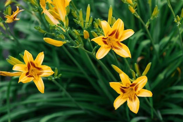 Belles fleurs d'hémérocalle jaune dans le jardin en été