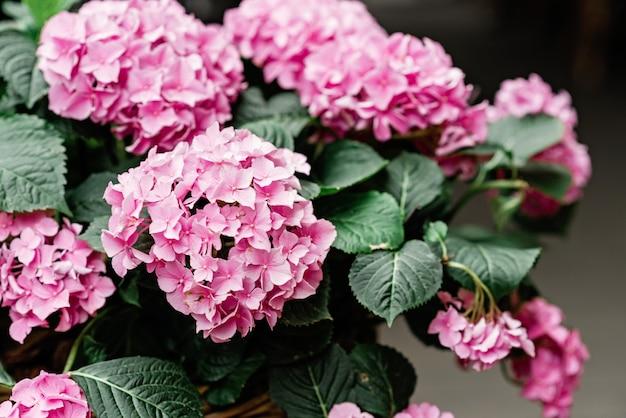 Belles fleurs d'hortensia rose dans un gros plan de pot de fleurs en osier. jardinage. mise au point sélective douce.
