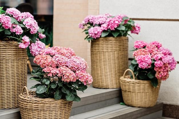 Belles fleurs d'hortensia rose dans un pot de fleurs en osier sur les marches de la façade d'un restaurant, fleuriste. jardinage. mise au point sélective douce.
