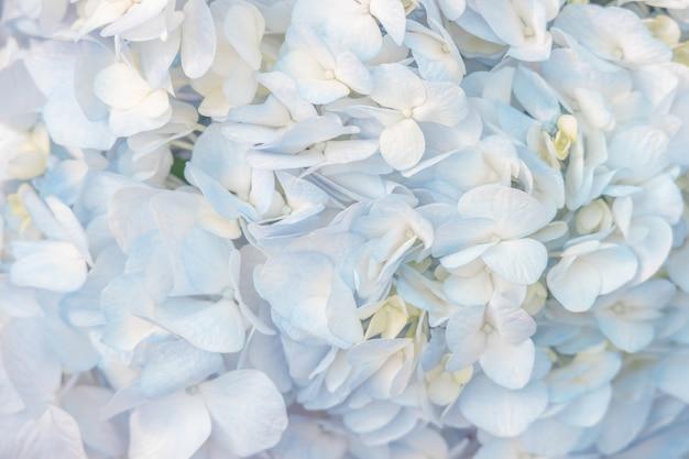 De belles fleurs d'hortensias bleus de couleur douce pour le fond.