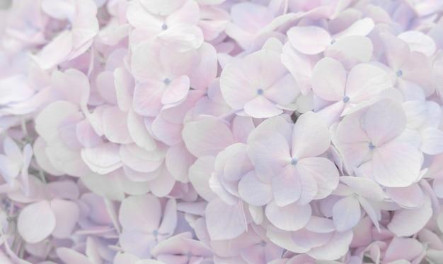 De belles fleurs d'hortensias de couleur rose tendre et mauve pour le fond.