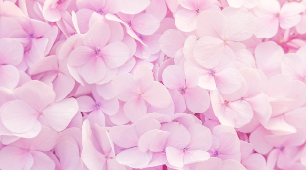 De belles fleurs d'hortensias de couleur rose tendre pour le fond.
