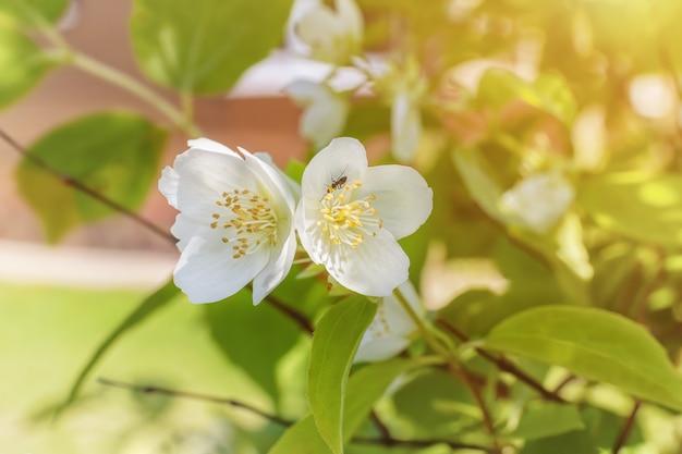Belles fleurs de jasmin de printemps sur bush. branche d'arbre en fleurs avec des fleurs blanches à une belle journée ensoleillée. branche fleurie dans le jardin. symbole de la nouvelle vie née au printemps.