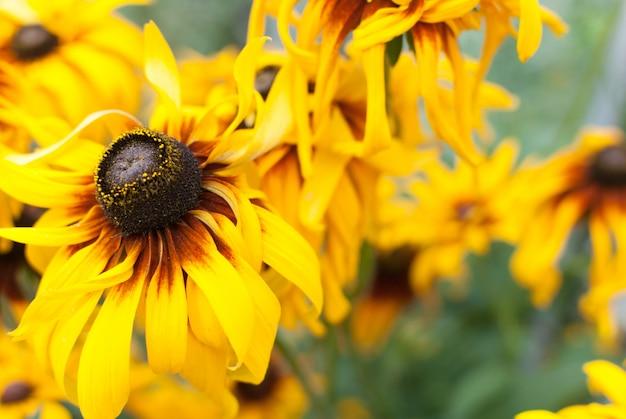 Belles fleurs jaunes un jour d'été